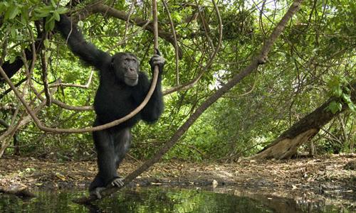 Một con tinh tinh ở Senegal. Ảnh: National Geographic.