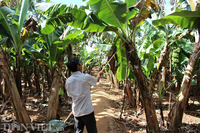 Bỏ cà phê, trồng 1ha chuối Laba, thu 20 triệu/tháng đều như vắt chanh