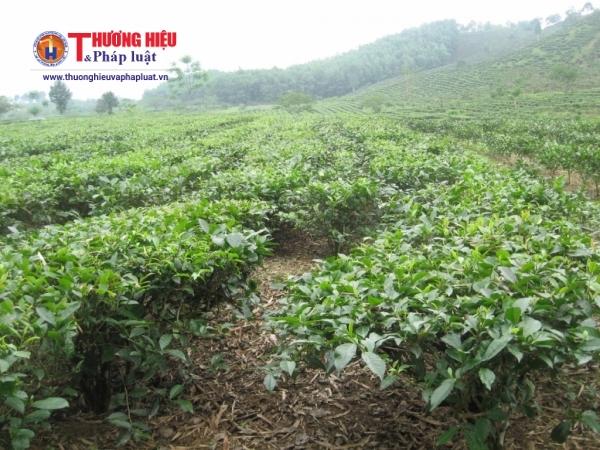 Một khu vực sản xuất chè hữu cơ tại huyện Vị Xuyên, Hà Giang