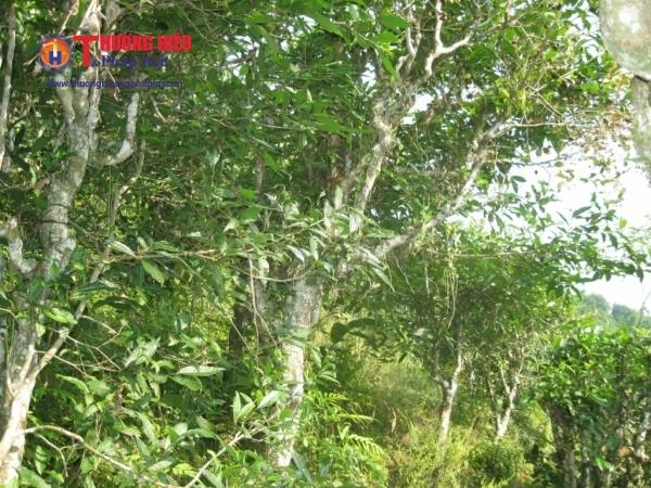 Khu vực chè Shan tuyết cổ thụ có độ tuổi hàng trăm năm tại huyện Hoàng Su Phì, Hà Giang