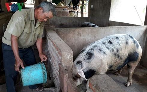 Lão nông Khơ Mú nuôi lợn thu nhập 150 triệu đồng mỗi năm