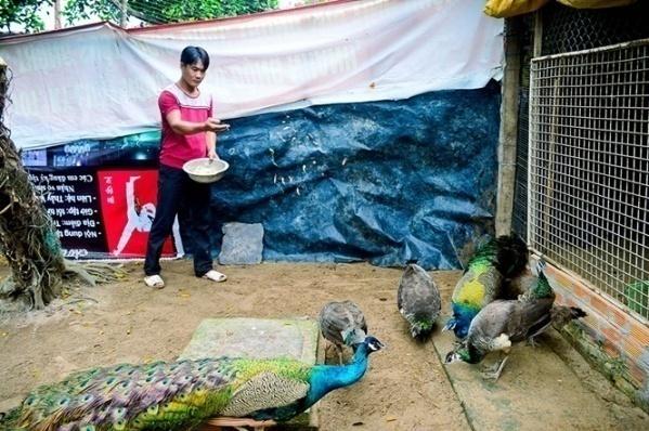 nuôi chim công thương phẩm