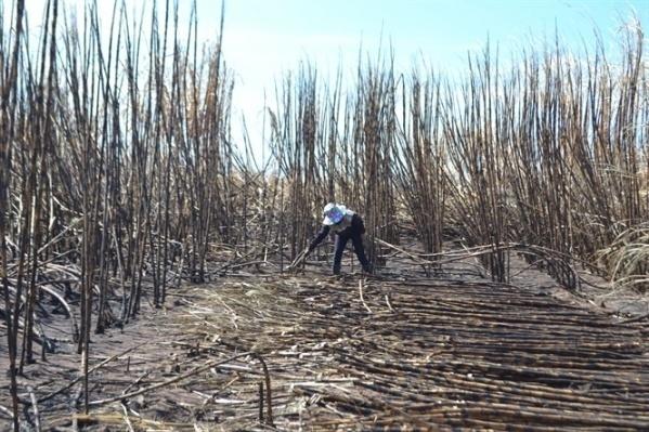 Chặt tận thu cánh đồng mía bị cháy.
