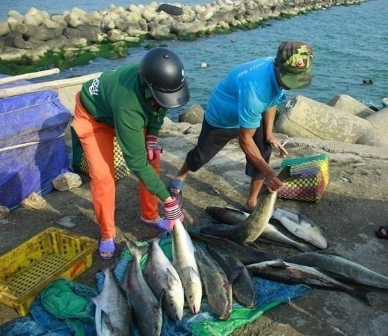 Mỗi con cá bớp có trọng lượng 4-5kg/con