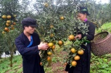 Tuần lễ giới thiệu cam, quýt đặc sản sắp diễn ra tại Hà Nội