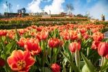 Lễ hội hoa tulip lớn nhất Việt Nam – vũ điệu của sự quyến rũ