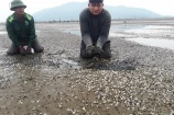 Hà Tĩnh: Người dân điêu đứng vì 80 ha ngao nuôi chết trắng vùng cửa biển