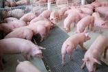 Giá lợn hơi nhiều biến động trên cả nước