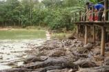 Cá sấu ế ẩm do dịch bệnh khiến người nuôi lao đao