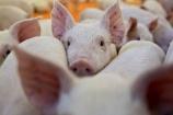 Giá lợn hơi hôm nay 15/7 đồng loạt tăng từ 1.000 - 3.000 đồng/kg