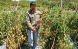 Lâm Đồng: Trắng tay vì vườn cà chua chết đứng vì nghi bị đầu độc