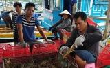 Giải cứu tôm hùm vì không xuất được sang Trung Quốc