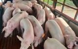 Việt Nam sẽ nhập khẩu lợn sống để hạ giá lợn hơi trong nước