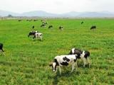 """Mộc Châu Milk """"về một nhà"""" với Vinamilk – Tin vui đầu năm của ngành sữa Việt Nam"""