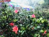 """Phú Thọ: Rực rỡ """"Lễ hội hoa đỗ quyên"""" tại khu vui chơi Thu Cúc Garden"""