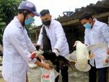 Xuất hiện ổ dịch cúm gia cầm A/H5N6 tại Nghệ An