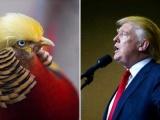 Chú chim trĩ bất ngờ nổi tiếng vì kiểu tóc giống ông Donald Trump
