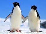 Vệ tinh giúp đếm số lượng chim cánh cụt qua...phân chim