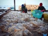 Ngư dân săn 'vàng trắng', kiếm gần chục triệu đồng mỗi ngày