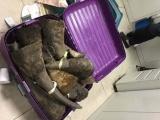 Phát hiện hơn 100kg sừng tê giác tại sân bay Nội Bài