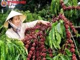 Quảng Trị: Đề án tái canh và phát triển cây cà phê được hỗ trợ kinh phí 255 tỷ đồng