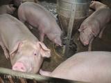 Sự thực ở các trại lợn: Nông dân cùng cực, lợn đói nằm... chờ chết