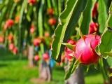Bầu Đức và tham vọng xây 'đế chế' cây ăn quả