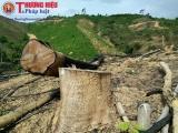 Thanh Hóa: Nhức nhối nạn phá rừng nghèo kiệt để trồng keo