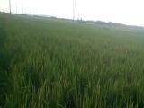 2 bé trai ở Long An chết bất thường trên cánh đồng