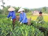 """Nhãn hiệu tập thể """"Chè Thái Nguyên"""" được bảo hộ tại Mỹ, Trung Quốc và Đài Loan"""