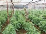 Sơn La: Sản xuất rau an toàn cho doanh thu 386 tỷ đồng/năm