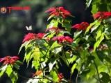 Ngắm hoa Trạng Nguyên rực đỏ tại Vườn quốc gia Xuân Sơn