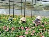 Để hoa Đà Lạt vươn ra thị trường thế giới