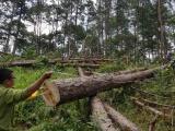 Lâm Đồng: Phát hiện rừng thông 30 năm tuổi bị triệt hạ