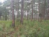 Điều tra vụ đầu độc khu rừng thông ba lá tại Lâm Đồng
