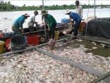 Tiền Giang: Hơn 160 tấn cá bè chết chưa rõ nguyên nhân
