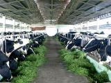 Sữa Việt Nam sắp được xuất khẩu sang Trung Quốc