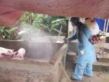 Xuất hiện bệnh lở mồm long móng trên đàn lợn ở Quảng Trị
