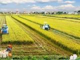 Lúa gạo ở đồng bằng sông Cửu Long rớt giá mạnh