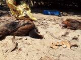 Tiêu hủy hơn 7.000 con gà tại 2 ổ dịch cúm A/H5N6 ở Quảng Nam