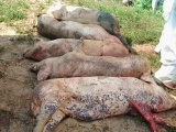 Phát hiện ổ dịch tả lợn châu Phi ở Thừa Thiên Huế