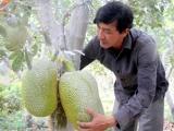 Bà Rịa - Vũng Tàu: Nông dân lãi lớn nhờ giá mít Thái tăng cao kỷ lục