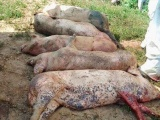 Bùng phát ổ dịch tả lợn Châu Phi thứ 3 tại tỉnh Thừa Thiên Huế