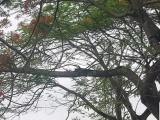 Hải Phòng: Nhiều cây phượng vỹ có tuổi đời hàng chục năm bị đốn hạ