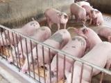 Đà Nẵng: Xuất hiện ổ dịch tả lợn Châu Phi