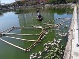Nắng nóng kéo dài, cá chết bốc mùi nổi lềnh bềnh hồ trung tâm Đà Nẵng