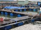 Cá chết hàng loạt trên sông Chà Và, người dân có nguy cơ trắng tay