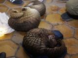 Phát hiện 140 kg động vật hoang dã ngụy trang trên xe khách