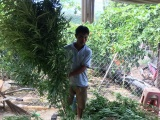 Lâm Đồng: Phát hiện hàng trăm cây cần sa trong rẫy cà phê