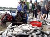 Hà Tĩnh: Cá nuôi lồng bè chết hàng loạt do thiếu ôxy